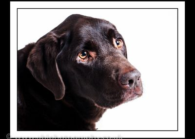 brown labrador portrait framed